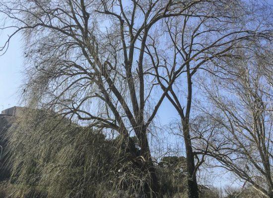 El Salze del Parc Fluvial. l'Espluga de Francolí. Arbres Singulars.