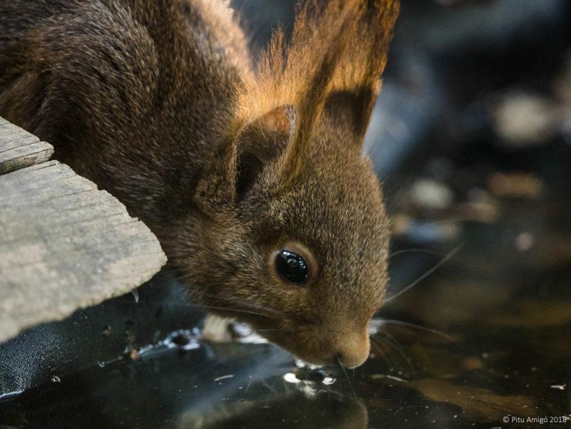 Esquirol (Sciurus vulgaris). Natura Singular. Fauna de la Conca de Barberà.