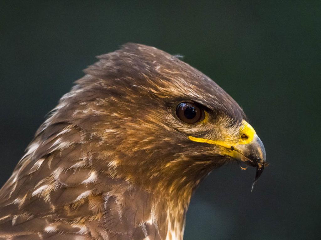 Miloca o aligot (Buteo buteo). Natura Singular. Fauna de la Conca de Barberà.