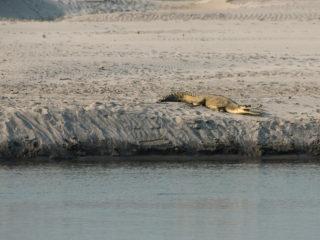 Crocodril gavial (Gavialis gangeticus)