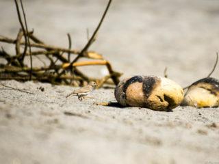 Alosa terrosa (Calandrella raytal)