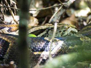 Serp pitó (Python molurus) amb la pell recent canviada
