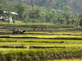 Conreant l'arròs. Jungles del Therai 2015 MVR