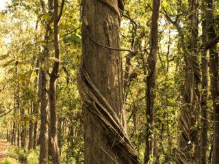 El ficus estrangulador s' entertolliga a les troncs d'arbres grossos per a aconseguir arribar fins a la llum. Jungles del Therai 2015 M