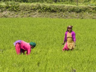 Noies tharu plantant arròs. Jungles del Therai 2015 MVR