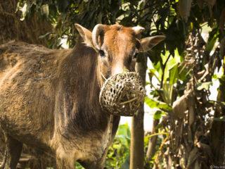 Bou amb morrió. Jungles del Therai 2015 MVR