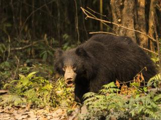 L'ós negre asiàtic (Ursus thibetanus) passa el seu temps entre la vegetació del bosc tot buscant termiters o eixams d'abelles que són alguns dels seus aliments favorits