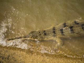 Crocodril gavial (Gavialis gangeticus) pescant. Jungles del Therai 2015 MVR