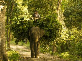Els elefants s'usen com a tractors al bosc. Jungles del Therai 2015 MVR