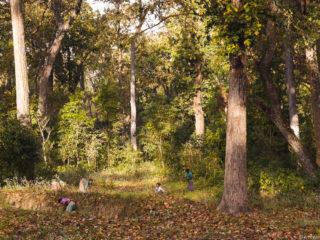 Pagesos tharu recollint fulles de Sal. Jungles del Therai 2015 MVR