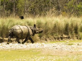 Rinoceront (Rhinoceros unicornis), pasturant