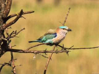 El gaig indi (Coracias benghalensis) és un dels ocells més vistosos i de la regió