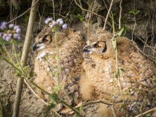 Polls de duc (Bubo bubo), el niu és al tal·lús del riu