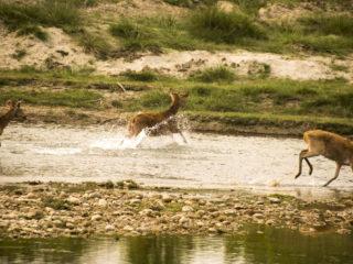 Cérvols d'aiguamoll en fugida creuant el riu