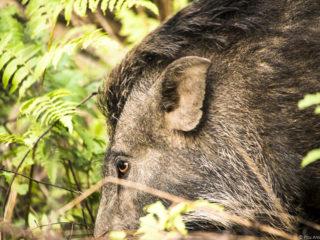 Els senglars (Sus scrofa) són comuns al Therai