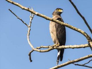 Àguila colobrera emplomallada (Spiloris cheela)
