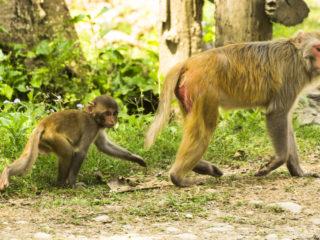 Mico rhesus (Macaca mulatta)