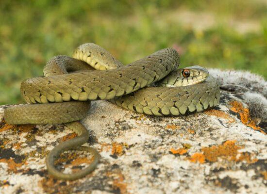 Serp de collaret, Natrix astreptophora. Foto: Cristian Luque