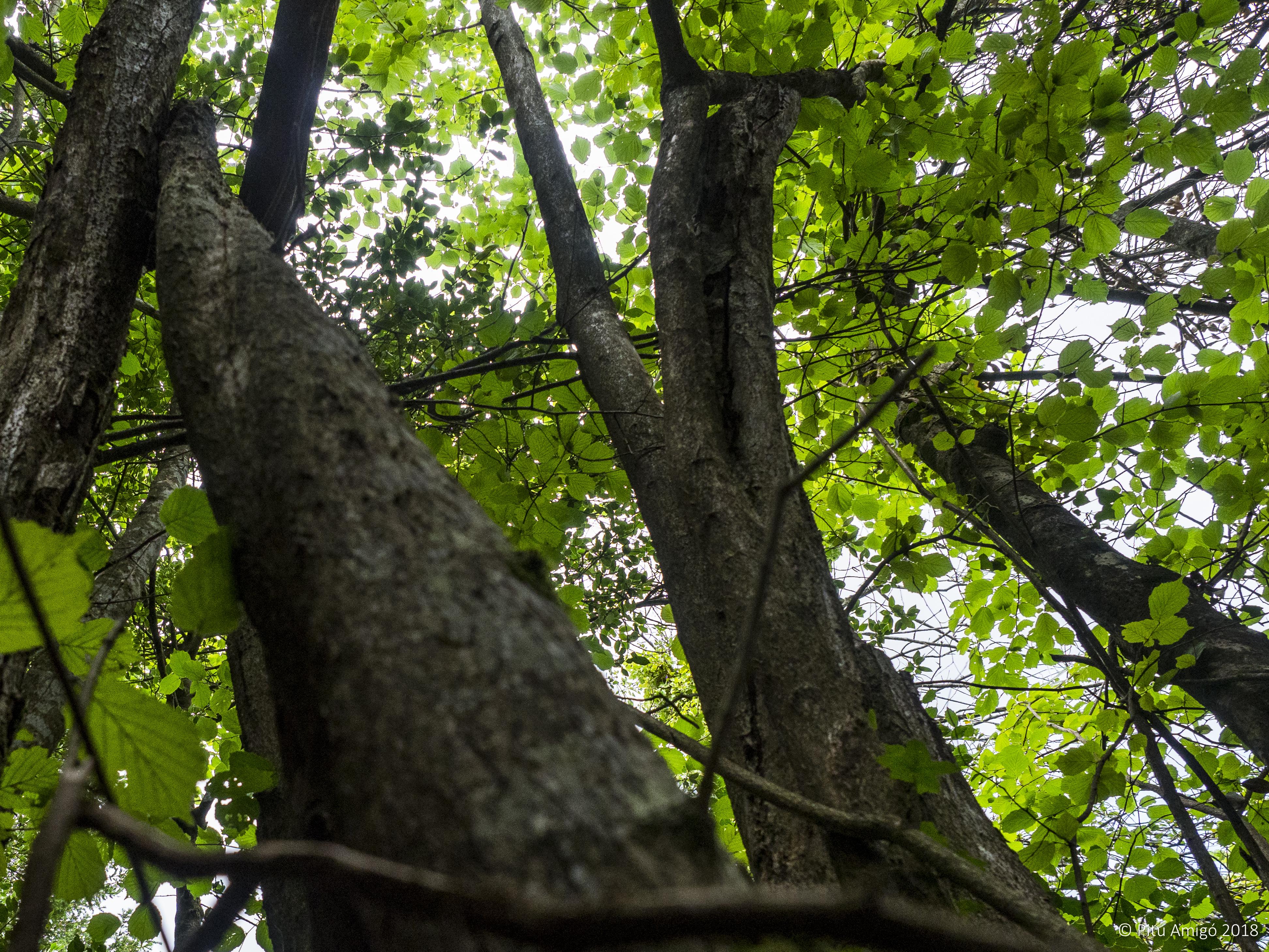 L'avellaner de l'aigüeta (Corylus avellana). PNIN Poblet, L'Espluga de Francolí. Arbres Singulars.