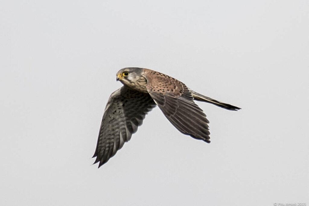 Xoriguer (Falco tinnunculus) en vol. L'Espluga de Francolí. Natura Singular