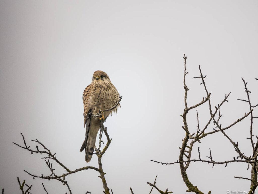 Xoriguer (Falco tinnunculus) femella. L'Espluga de Francolí. Natura Singular