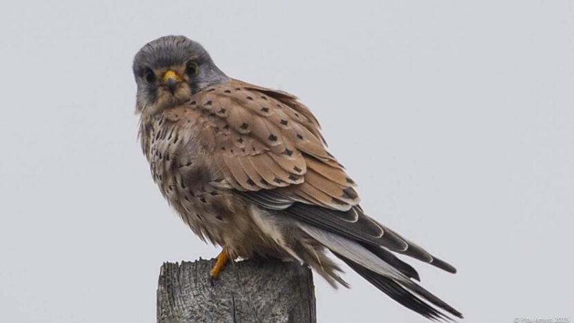 Xoriguer (Falco tinnunculus) mascle. L'Espluga de Francolí. Natura Singular