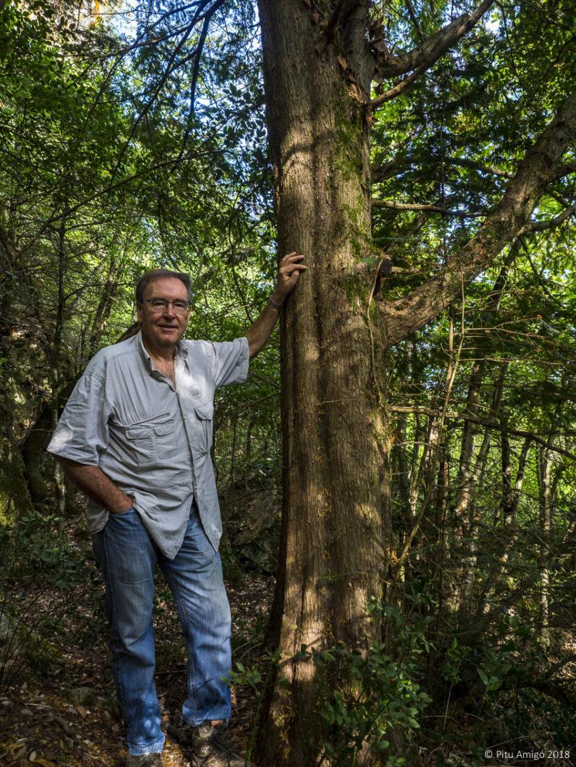 El teix gran de l'aigüeta (Taxus baccata). PNIN Poblet, l'Espluga de Francolí. Arbres SIngulars amb Antoni Carreras i Casanovas.