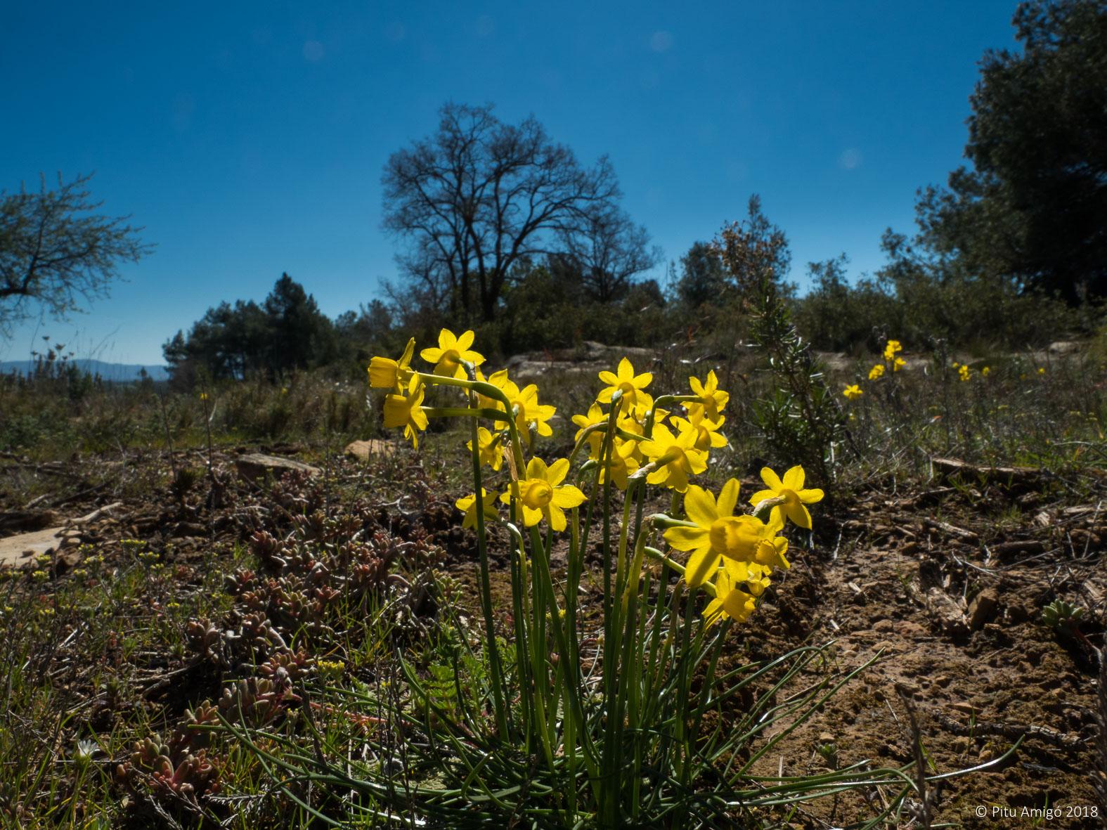 Almesquí (Narcissus assoanus). L'Espluga de Francolí. Natura Singular