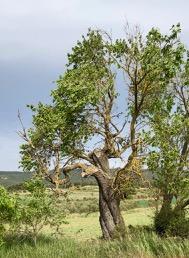 Ametller de la Polonia. L'Espluga de Francolí. (Prunus dulcis). Arbres Singulars.