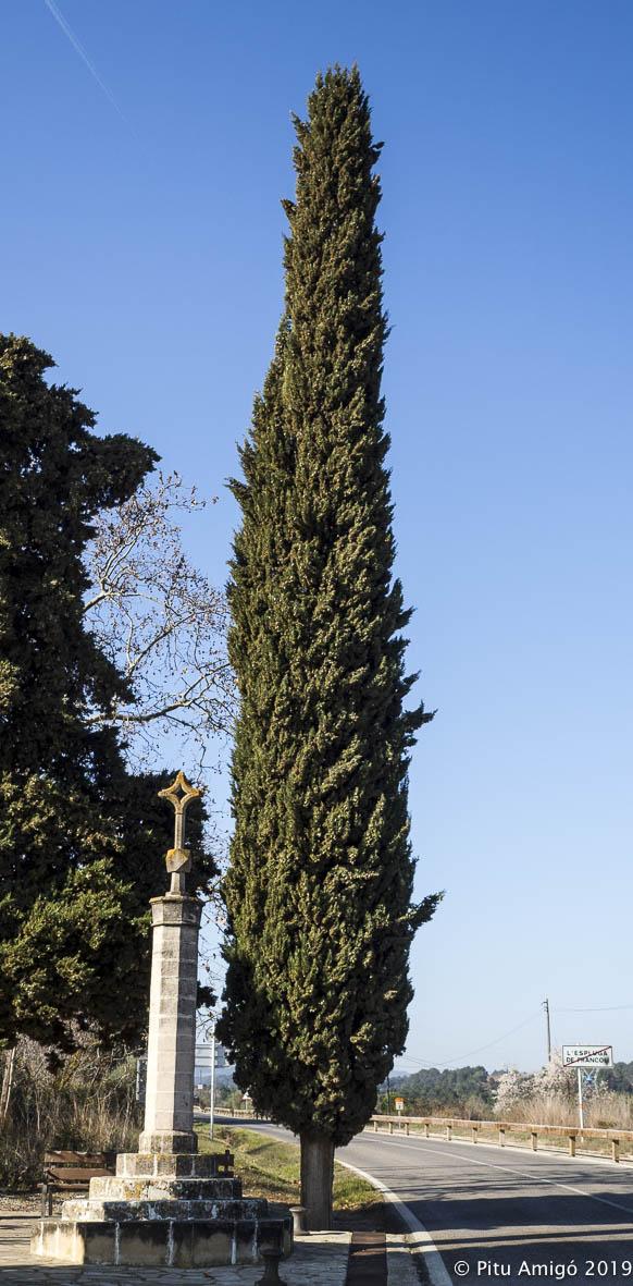El xiprer de la Creu, (Cupressus sempervirens) l'Espluga de Francolí. Arbres Singulars