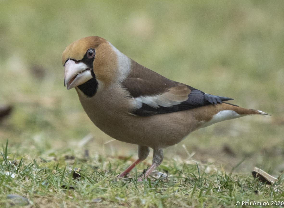 Durbec (Coccothraustes coccothraustes). Natura Singular