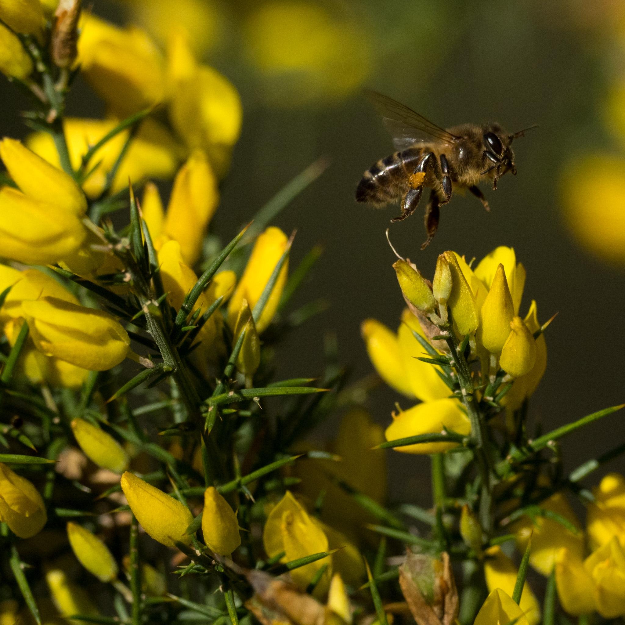 Argilaga (Genista scorpius) amb una abella (Apis mellifera). Natura Singular