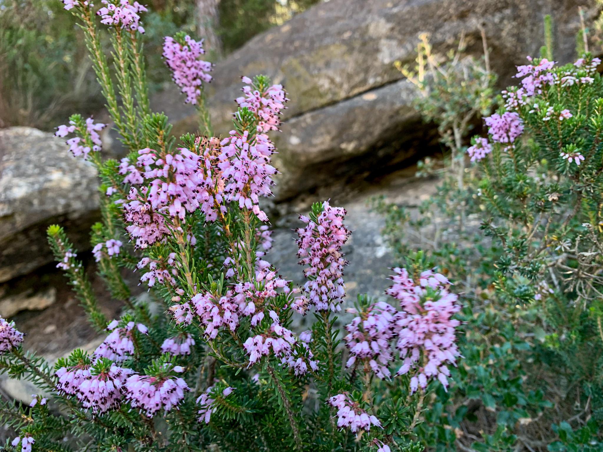 Bruc d'hivern (Erica multiflora). Natura Singular