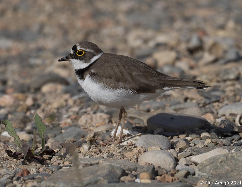 Corriol petit (Charadrius dubius). Natura Singular