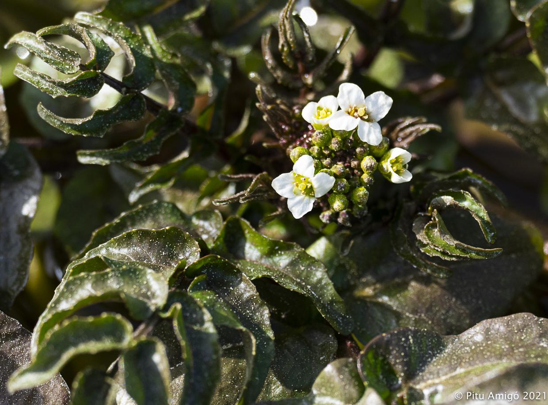 Flor de creixen (Nasturtium officinale). Natura Singular