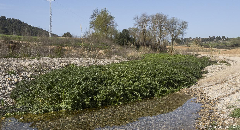 Crèixens (Nasturtium officinale). Natura Singular