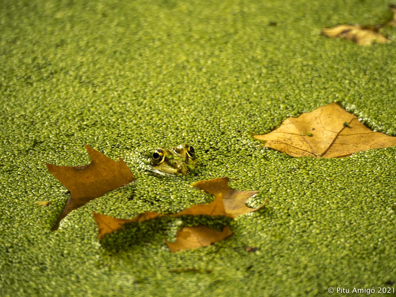 Granota verda (Pelophylax perezi). Natura Singualar