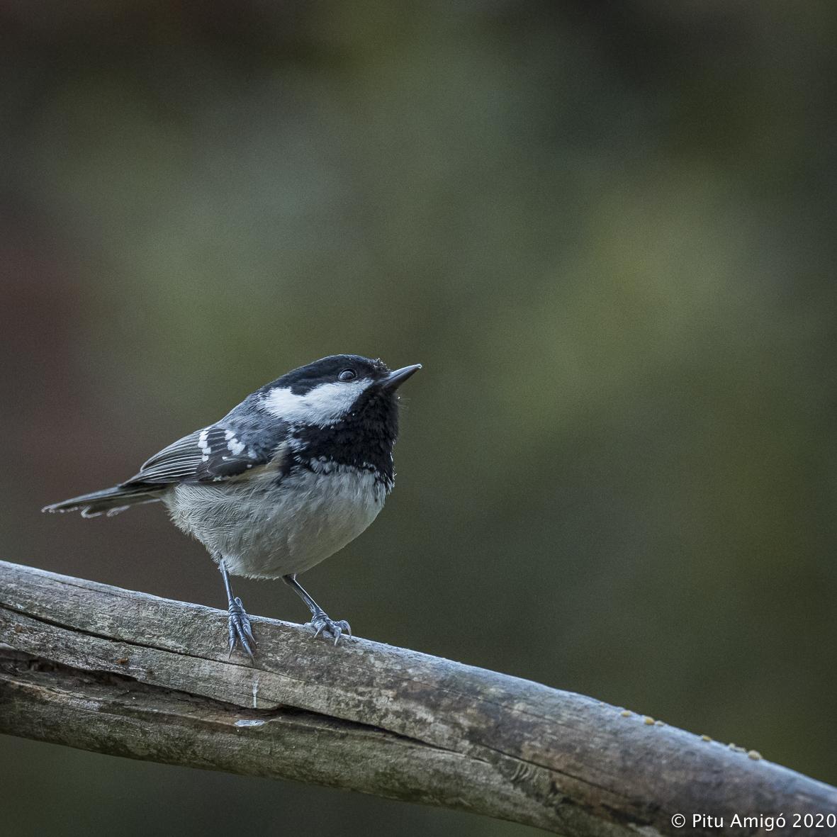Mallerenga petita (Periparus ater). Natura Singular