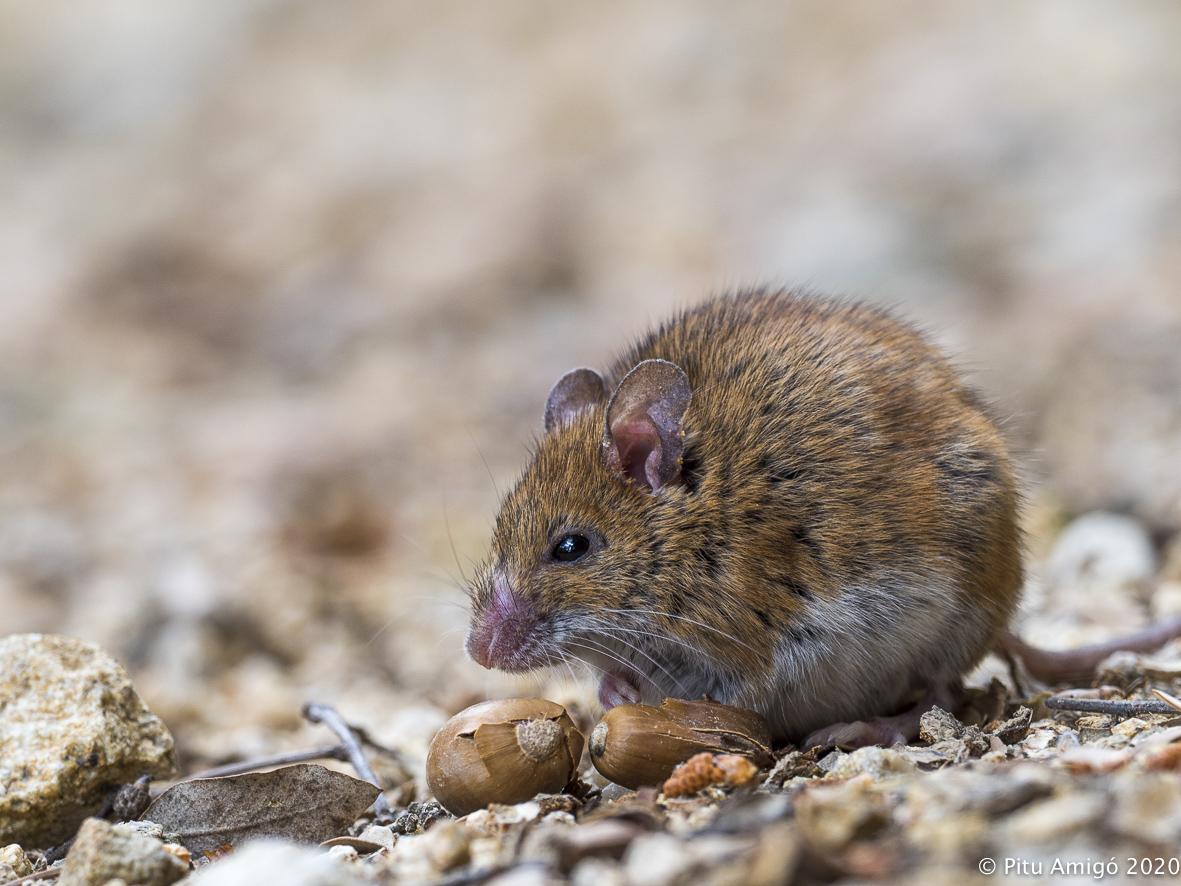 Ratolí de bosc (Apodemus sylvaticus). Natura Singular