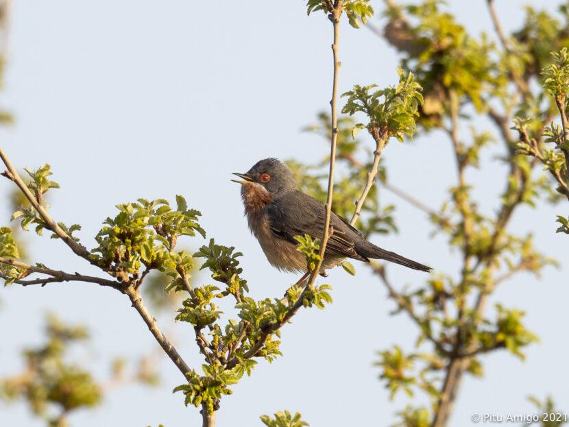 Tallarol de garriga (Sylvia cantillans) mascle. Natura Singular