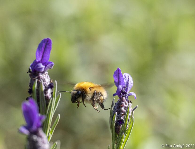 Abellot (Bombus muscorum) volant entre flors de tomaní salvatge (Lavanda stoechas). Natura Singular
