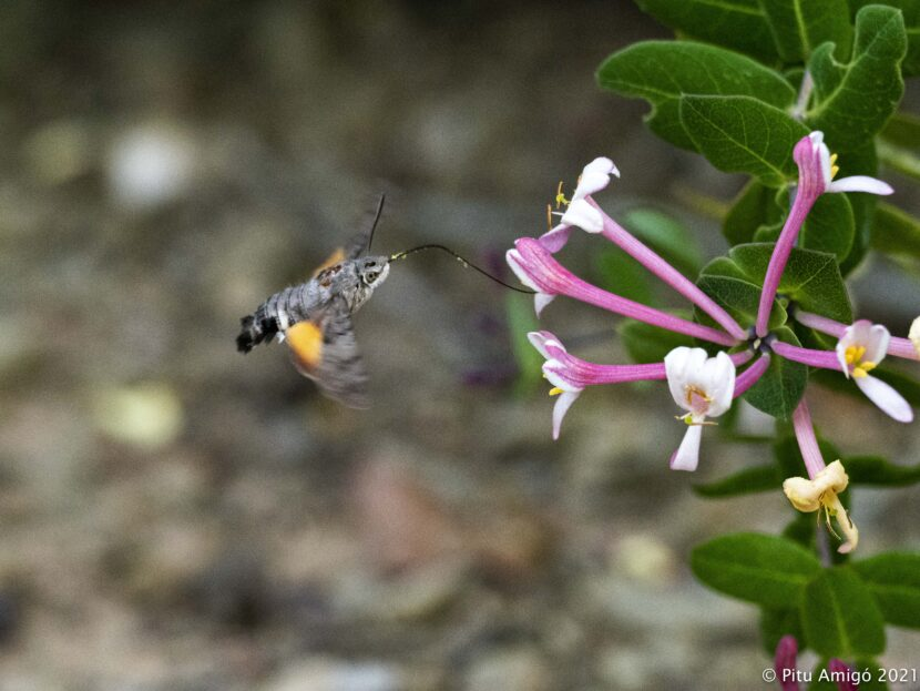 Bufaforats (Macroglossum stellatarum) alimentatntse en flros de lligabosc (Lonicera implexa). Natura Singular.
